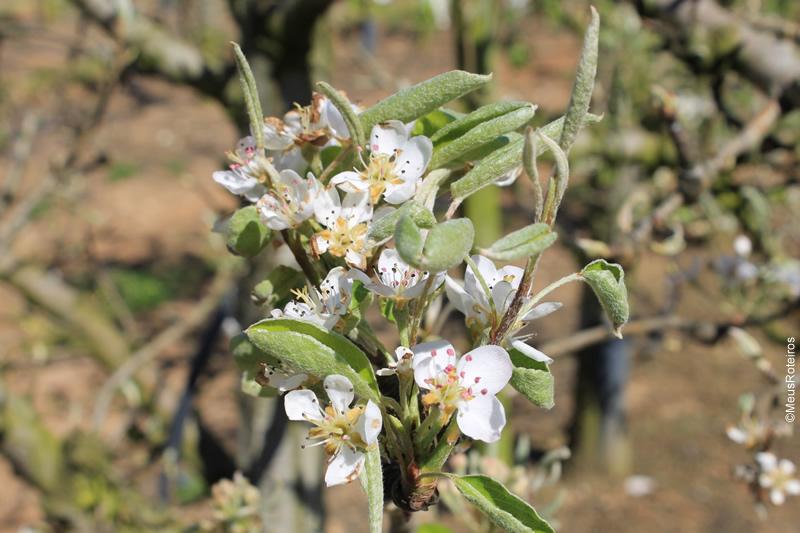 Trilha em Portugal: flor da árvore de pera