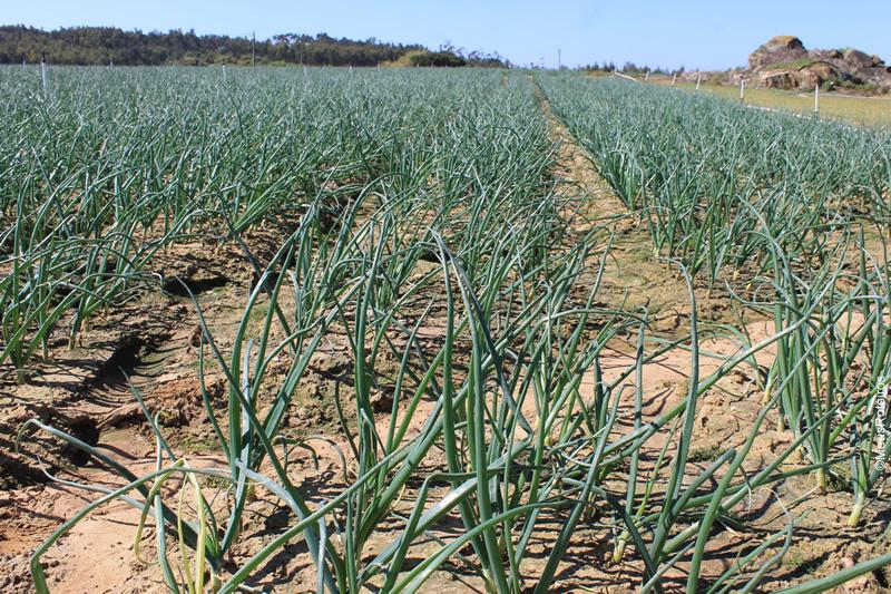Trilha em Portugal: plantação de cebolinha